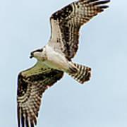 Osprey Hovering Poster