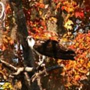 Osprey In Fall Poster