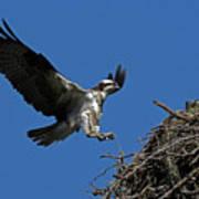 Osprey Landing Approach - Oregon Coast Poster