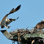 Osprey Landing In Nest Poster