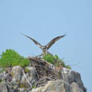 Osprey Landing On A Nest Poster
