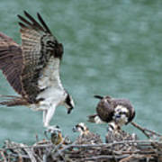 Osprey Male Bring Home The Dinner Poster