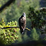 Osprey On Branch Poster