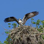Osprey On Nest Wings Held High Poster