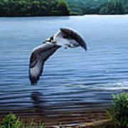 Osprey Over Clear Lake Poster