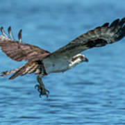 Osprey Ready For Fish Poster