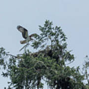 Osprey Reinforcing Its Nest 2017 Poster