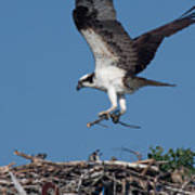 Osprey Returning Home Poster
