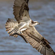 Osprey Take-out Poster