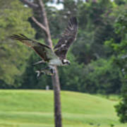 Osprey With Catch Poster