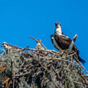 Osprey With Chicks Poster