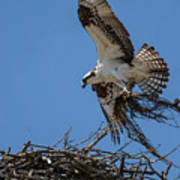 Osprey With Nesting Material 031620161567 Poster