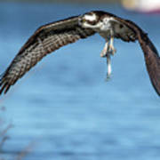 Osprey With Pin Fish Poster