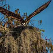 Osprey Working On Nest Poster