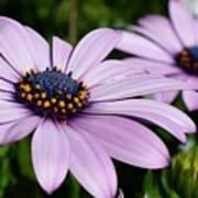 Osteospermum 'margarita Lilac' Poster