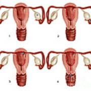 Ovulation And Menstruation Poster