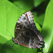 Owl Butterfly On A Cluster Of Green Leaves Poster
