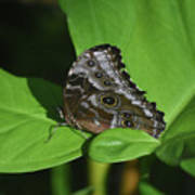 Owl Butterfly With Fantastic Distinctive Eyespots  Poster
