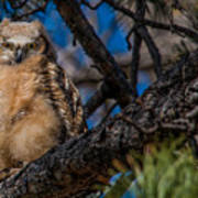 Owlet In A Fir Tree Poster