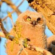 Owlet In A Spring Sunrise Poster