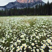 Ox-eyed Daisies And Cascade Mountain Poster