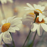 Oxeye Daisy Flowers Poster
