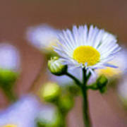 Oxeye Daisy - Paint Poster
