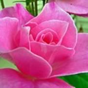 p1050202b  Pink Rose Poster