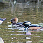 Pa And Ma Hooded Mergansers Poster