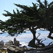 Pacific Cypress View Poster