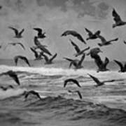 Pacific Gulls Poster