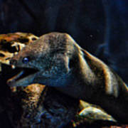 Pacific Moray Eel Poster
