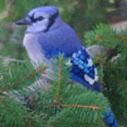 Painted Blue Jay  Poster
