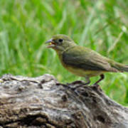 Painted Bunting - Feeding Female Poster