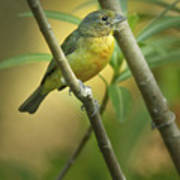 Painted Bunting Female Poster