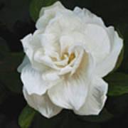 Painted Gardenia Poster