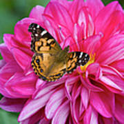 Painted Lady On Dahlia Poster