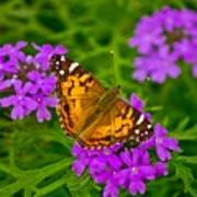 Painted Lady On Purple Verbena Poster