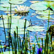 Painted North American White Water Lily Poster