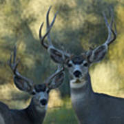 Pair Of Bucks Poster