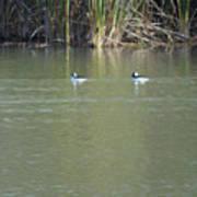 Pair Of Bufflehead Ducks  Poster