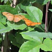 Pair Of Butterflies Poster