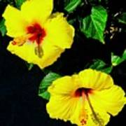 Pair Of Golden Hibiscus In Morning Sun Poster