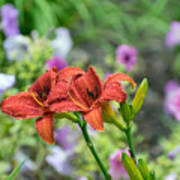 Pair Of Red Asiatic Lilies After A Rain Poster