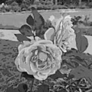 Pair Of Roses In Grayscale Poster