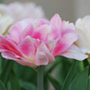 Pale Pink And White Parrot Tulips In A Garden Poster