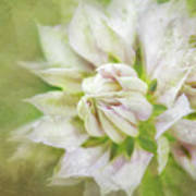 Pale Pink Clematis Poster