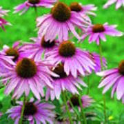 Pale Purple Coneflowers Poster