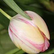 Pale Yellow And Pink Tulip Poster