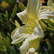 Pale Yellow Lily In A Garden Of Daylilies Poster